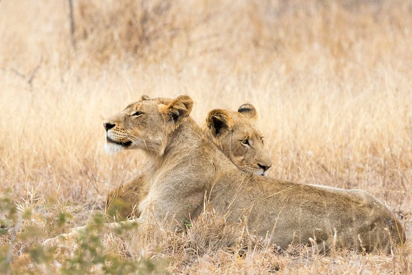 Luie jonge leeuwen van Cor de Bruijn