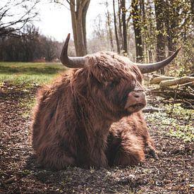 Highlander écossais à l'orée des bois sur Ricardo Bouman