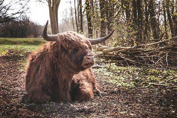 Highlander écossais à l'orée des bois