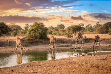 Trinkende Giraffen von