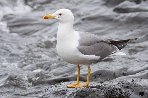Yellow-legged Gull  von Rene Lenting