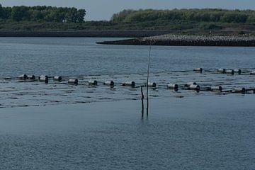 Ferme d'algues de l'Escaut oriental sur Mirjam Welleweerd