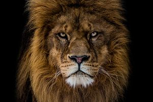 Der wütende Löwe sieht mich an