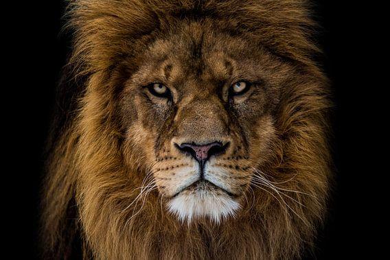 kwaaie leeuw kijkt mij recht aan