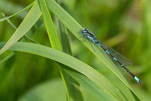 Een macro van een waterjuffer/libelle die even uitrust in het groen