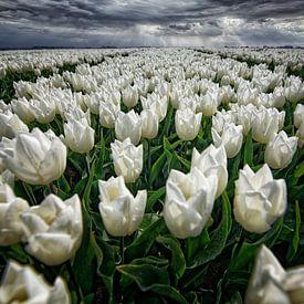 Zwiebelfelder auf Goeree-Overflakkee von Tilly Meijer