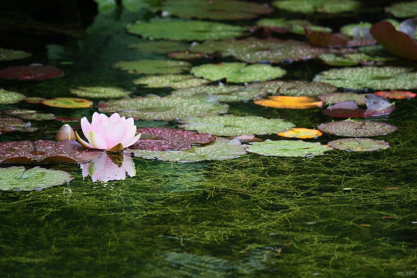 water lily von Meleah Fotografie