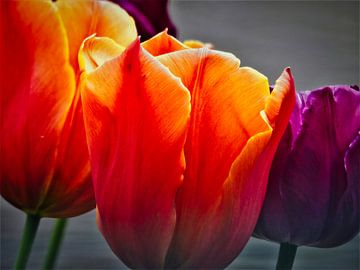 Célébrer le printemps : les tulipes en fleurs sur Anja Oosterwaal