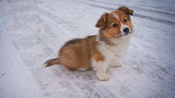 Welshcorgi in de sneeuw 1 von Michel van der Vegt