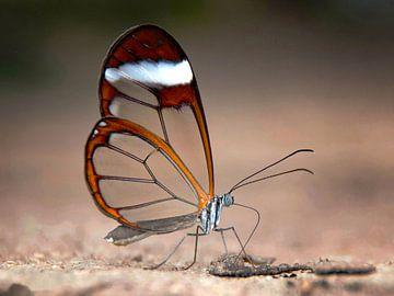 Glasvlinder van Rob Jansen
