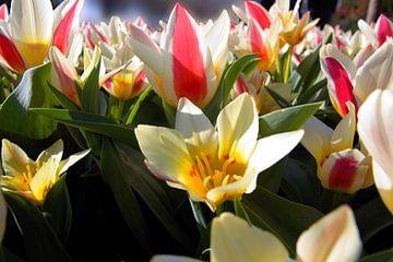 tulp wit rood geel (2) van Fleksheks Fotografie