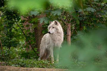 Hudson-Bay-Wolf von gea strucks