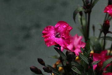 Lila Gartenpflanze von Pim van der Horst