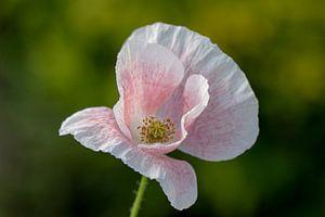 Roze klaproos van Tanja van Beuningen