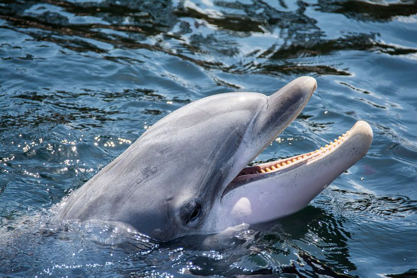 Dolfijn van Ton de Koning