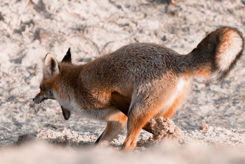 Gravende vos in de duinen | Wildlife in Nederland van Dylan gaat naar buiten