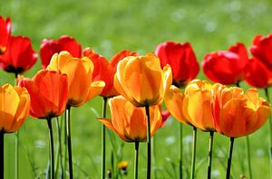 Yellow And Red Tulips van Ioana Hraball