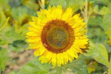 Sonnenblumen abstrakt,  (Helianthus annuus), Bremen, Deutschland, Europa