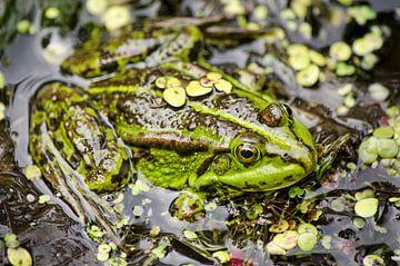 Frosch und Wasserlinse