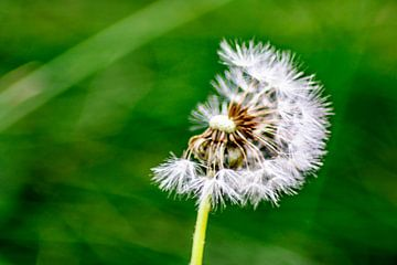 Natur genießen : Die Pusteblume von Michael Nägele