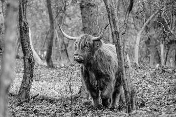 Schottische Hochlandbewohner in den Wäldern des Nationalparks Süd-Kennemerland von Melissa Peltenburg