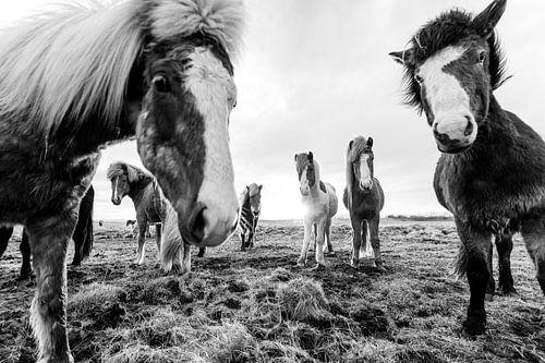 Groep IJslandse Paarden in de Wei bij Zonsondergang van