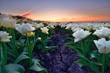 Witte tulpen bij zonsondergang