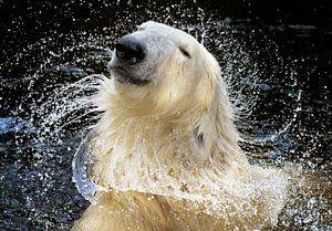 """""""Weil ich es wert bin!"""", Ein Porträt des Eisbären, der für eine Shampoo-Werbung vorzusprec"""
