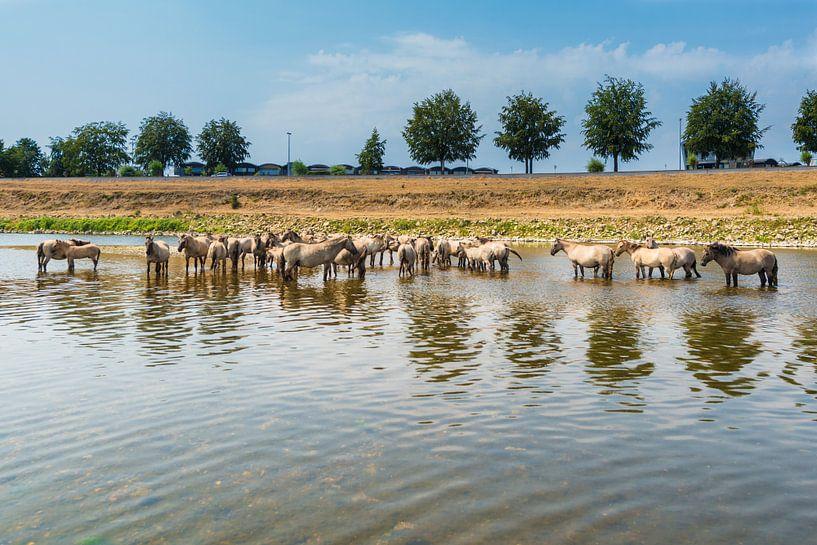 Konik Paarden in de rivier. van Brian Morgan