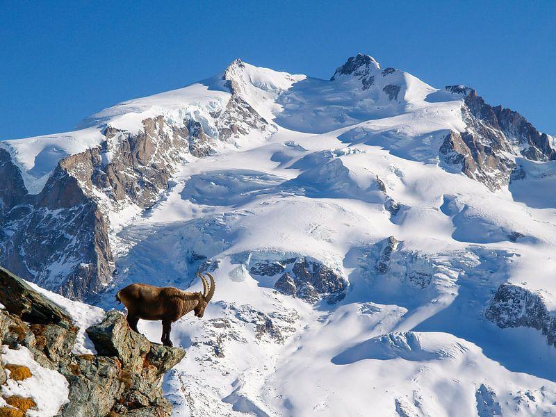 Steinbock im Monte Rosa Massiv oberhalb von Zermatt von Menno Boermans