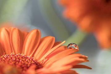 Oranje Gerbera met waterdruppel van