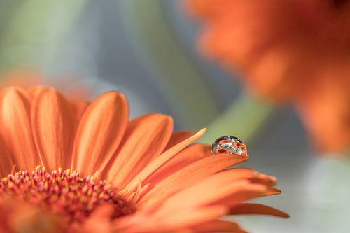 Oranje Gerbera met waterdruppel van Marianne Twijnstra-Gerrits