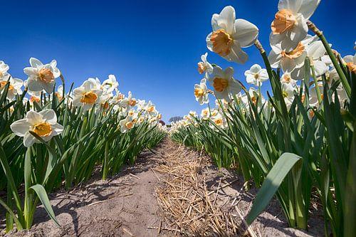 Bollenveld - Narcissen