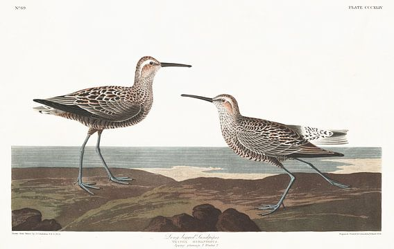 Steltstrandloper van Birds of America