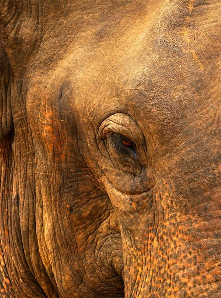 Het oog van een prachtige olifant in Sri Lanka van Gijs Bodzinga