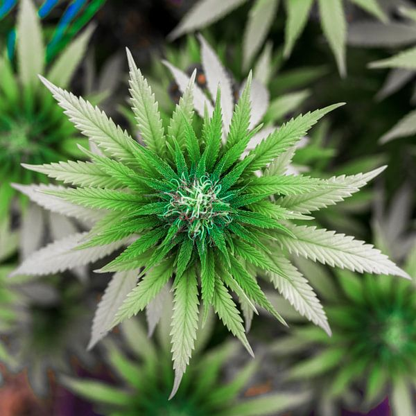 Cannabis Blüte von Felix Brönnimann