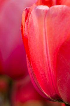 Rode tulp van Arjan van der Beek