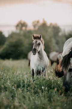 Konik paarden veulentje tijdens zonsondergang in het gras van Lotte van Alderen