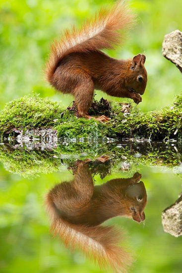eekhoorn spiegelbeeld van Rando Kromkamp