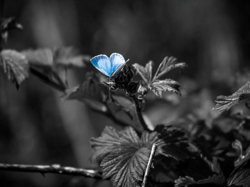 Un papillon bleu sur Martijn Tilroe