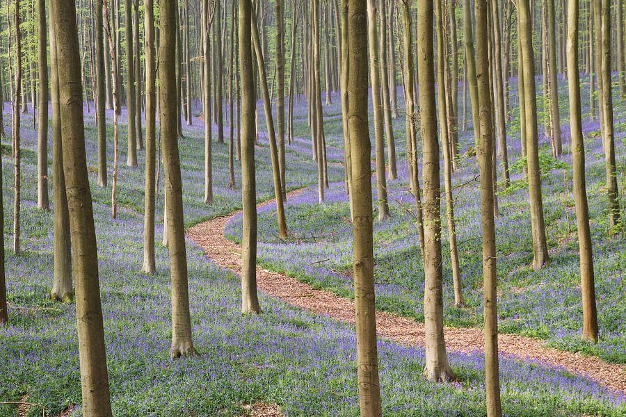 Een wandelpad tussen de paarse hyacinten en beukenbomen