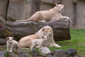 Afrikanische Löwen (Panthera leo) II von Eric Wander