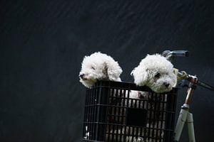 Witte honden