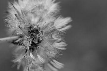 Löwenzahn schwarz-weiß von Nienke Stegeman