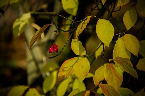Resten van een vrucht van de Wilde Kardinaalsmuts in de herfst