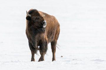 Amerikanischer Bison ( Bison bison ) im Winter, warnt mit drohendem Blick, wildlife, Yellowstone NP, von wunderbare Erde