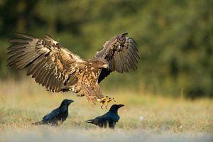 White-tailed Eagle / Sea Eagle ( Haliaeetus albicilla ) juvenile bird of prey, landing on a meadow n