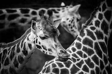 Giraffe von Rob Boon