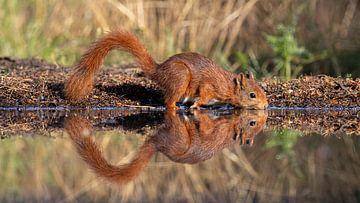 Weerspiegeling in het water van een drinkende eekhoorn van John Stijnman