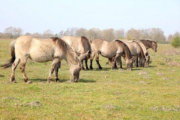 Konik paarden van Henk Katuin